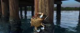 The Blues Crab 9